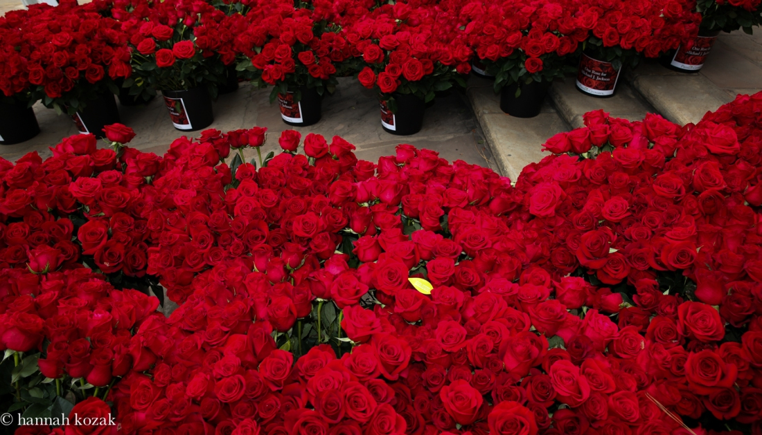 """Robyn Starkland organizes """"One Rose for MJ"""". She had 15, 627 roses delivered to Forest Lawn for Michael. Amazing soul!"""